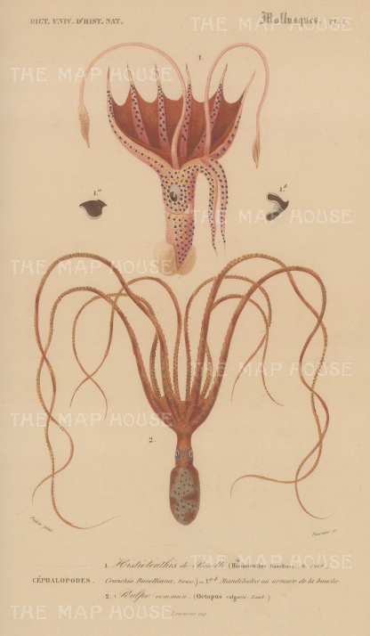 Squid and Octopus: Umbrella Squid, Histioteuthis bonnelliana and common Octopus, Octopus vulgaris.