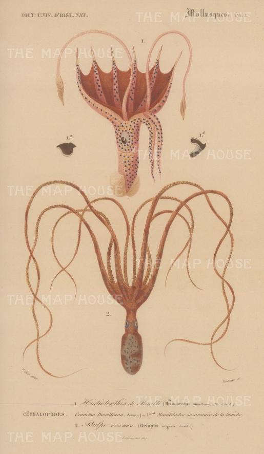 Squid and Octopus: Umbrella Squid, Histioteuthis bonnelliana and common Octopus, Octopus vulgaris.
