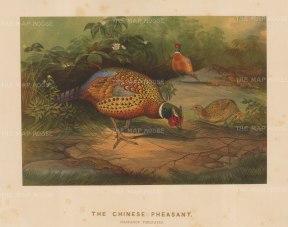 Chinese Pheasant. Phasianus Torquatus. Drawn from life at the Zoological Society's Vivarium.