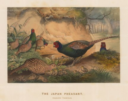 Japanese Pheasant. Phasianus versicolor. Drawn from life at the Zoological Society's Vivarium.