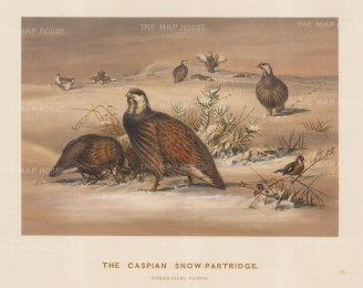 Caspian Snow Partridge. Tetraogallus caspius. Drawn from life at the Zoological Society's Vivarium. Plate X