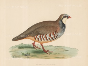 "Morris: Red legged Partridge. 1869. An original hand coloured antique lithograph. 11"" x 10"". [FIELDp1547]"