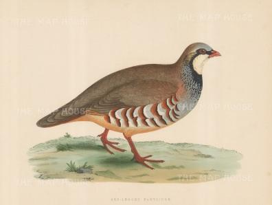 Partridge: Red legged Partridge.