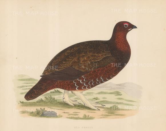 "Morris: Red Grouse. 1869. An original hand coloured antique lithograph. 11"" x 10"". [FIELDp1549]"