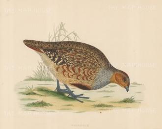 "Morris: Partridge. 1869. An original hand coloured antique lithograph. 11"" x 10"". [FIELDp1553]"