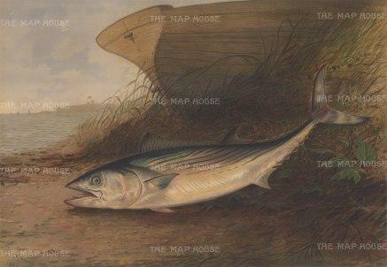 Mackerel: King Mackerel on the shore.