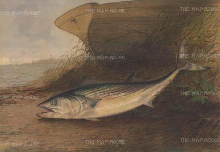 Mackerel: King Mackerel on the shore.