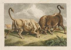 "Howitt: Bulls. c1815. A hand coloured original antique copper engraving. 8"" x 6"". [NATHISp3172]"
