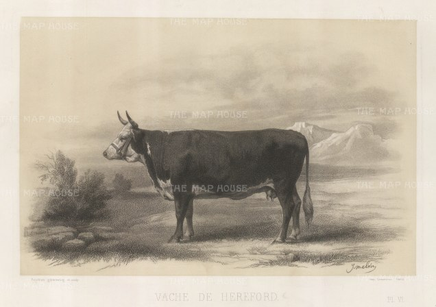 "Lemercier: Hereford Cow. c1850. An original antique lithograph. 15"" x 11"". [NATHISp5347]"