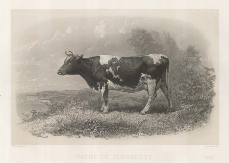 "Lemercier: Guernesey Cow. c1850. An original antique lithograph. 15"" x 11"". [NATHISp5348]"