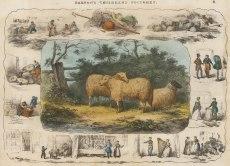 "Barfoot: Sheep. c1860. A hand coloured original antique lithograph. 13"" x 9"". [NATHISp5350]"