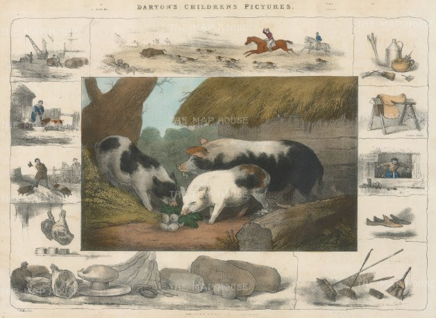 "Barfoot: Pigs. c1860. A hand coloured original antique lithograph. 13"" x 9"". [NATHISp5352]"