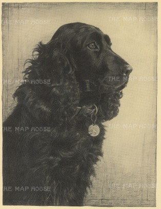 "Nicholson: Cocker Spaniel. 1934. An original vintage photo-lithograph. 7"" x 9"". [NATHISp6448]"