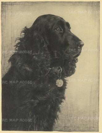 "Nicholson: Cocker Spaniel. 1934. An original vintage photo-lithograph. 7"" x 9"". [NATHISp6448]"