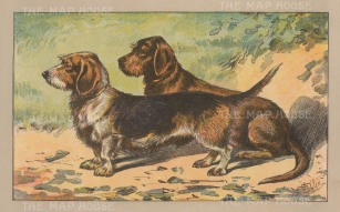 "Mahler: Rough Coated Dachshund. 1907. An original antique chromolithograph. 8"" x 5"". [NATHISp7031]"