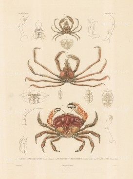Crustaceans: Xiphus Margaritifere, Eurypide Tuberculeux, Pelee Arme. From the voyage of La Bonite 1836-7.