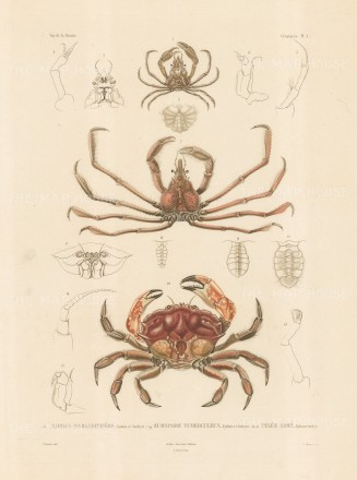 Crustaceans: Xiphus Margaritifere, Eurypide Tuberculeux, Pelee Arme. From the voyage of La Bonite 1836-7.