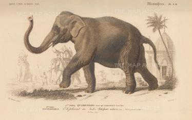 Elephant: Elephas Indicus a sub species of the Asian elephant originating from mainland Asia.