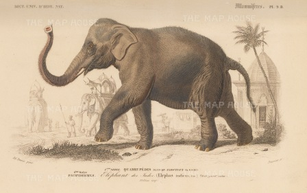 Elephant: in Indian landscape. Elephas Indicus a sub species of the Asian elephant originating from mainland Asia.