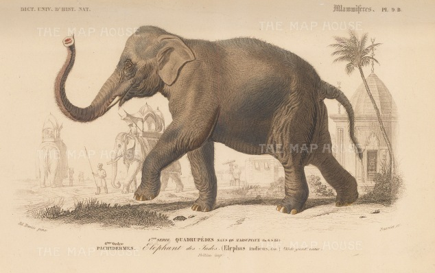 Elephant: Elephas Indicus a sub species of the Asian elephant originating from mainland Asia.