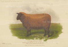 "Collingridge: Suffolk Sheep. 1902. An original colour antique chromolithograph. 10"" x 8"". [NATHISp7445]"