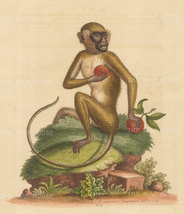 SOLD St Jago or Green Monkey of the Cape Verde Islands clutching fruit: Drawn from life.
