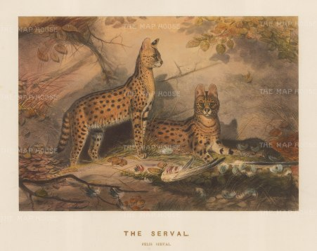 Serval: Felis serval. Captured in West Africa near the Gambia River and drawn from life at the Zoological Society's Vivarium.