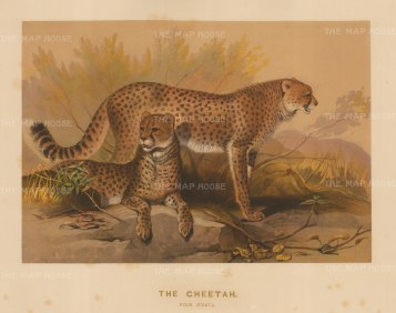 Cheetah: Felis jubata. Captured in South Africa and drawn from life at the society's Vivarium.