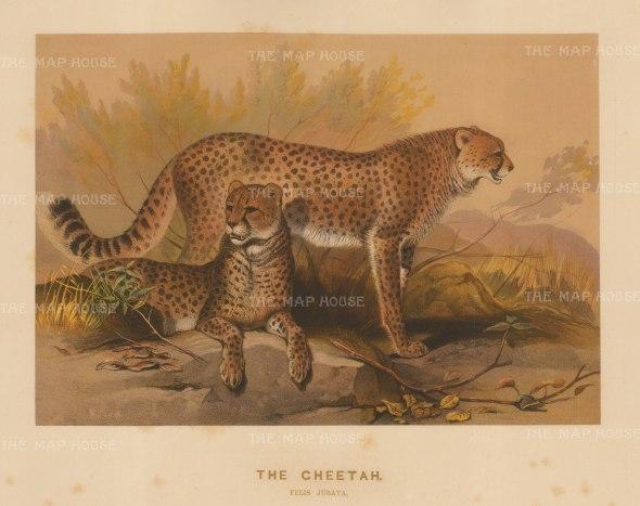 Cheetah: Felis jubata. Captured in South Africa and drawn from life at the society's Vivarium.