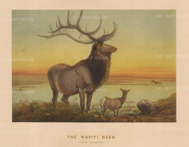 Wapiti Deer (Elk). Cervus canadensis. Breed in captivity and drawn from life at the Zoological Society's Vivarium