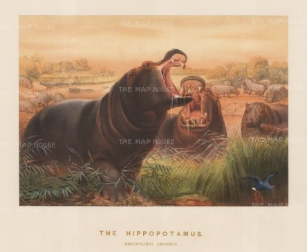 Hippopotamus: Hippopotamus amphibius. Captured on the White Nile and drawn from life at the Zoological Society's Vivarium.