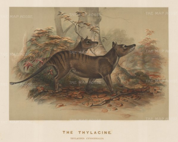 Thylacine (Tasmanian Tiger). Thylacinus cynocephalus. A pair captured near Launceston and drawn from life at the Zoological Society's Vivarium. Extinct in the wild by 1930, the last captive died in 1936.