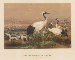Manchurian Crane. Grus montignesia. Drawn from life at the society's Vivarium.