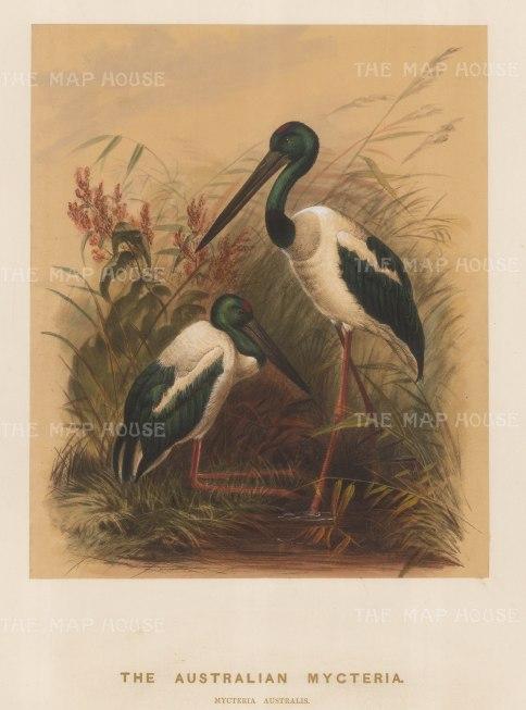 Stork: Australian Mycteria. Myceteria australis. Drawn from life at the society's Vivarium.