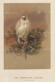 Greenland Falcon. Falcio greenlandicus. Saker Falcon. Falcio sacer. Drawn from life at the society's Vivarium.