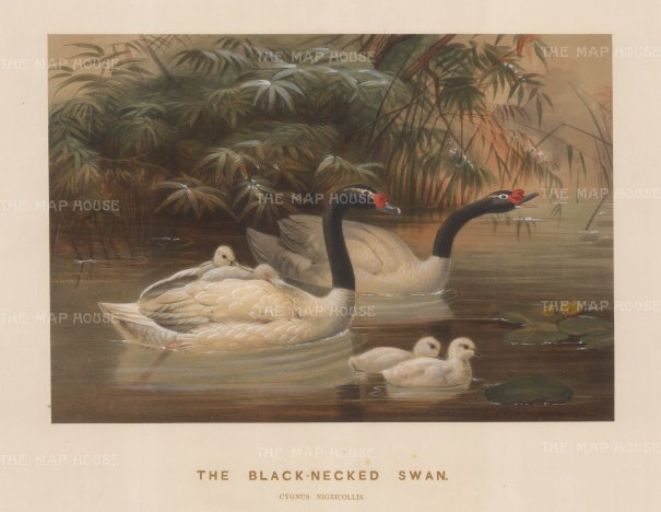 Black necked Swan. Cygnus nigricollis. Drawn from life at the Zoological Society's Vivarium