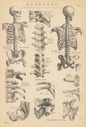 Spine: With details of the Backbone, Pelvis and Ribs.
