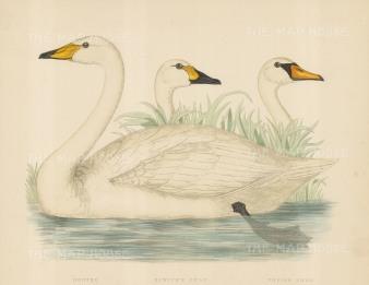 Hooper, Bewick and a Polish Swan.