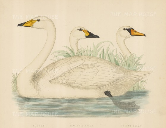 Hooper, Bewick and a Polish Swan.