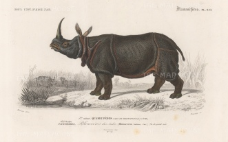 "d'Orbigny: Indian Rhinocerous. 1849. An original hand coloured antique steel engraving. 8"" x 5"". [NATHISp7556]"