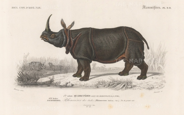 "d'Orbigny: Indian Rhinocerous. 1849. An original hand coloured antique steel engraving. 8"" x 5"". [NATHISp7556]"
