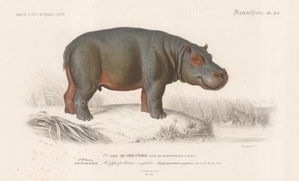 "d'Orbigny: Hippopotamus. 1849. An original hand coloured antique steel engraving. 8"" x 5"". [NATHISp7557]"