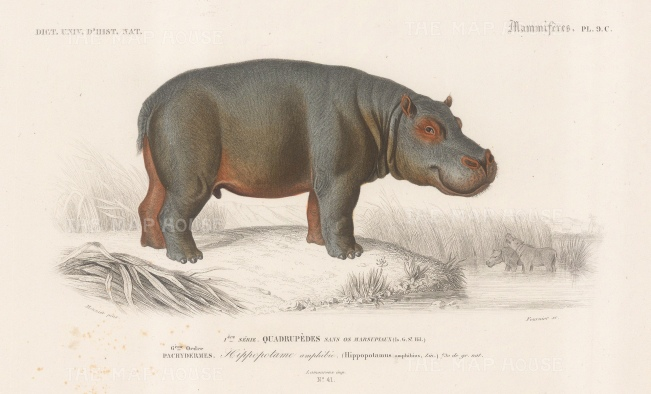 "d'Orbigny: Hippopotamus. 1849. An original hand coloured antique steel engraving. 8"" x 5"". [NATHISp7557]"