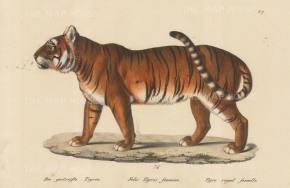 Tigeress: Felis Tigris foemina.