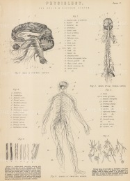 Central Nervous System: Brain, Spinal cord and nervous system with key and detail of nerve cells.