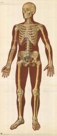 """Deutsche Hygiene-Museum: Life size Skeleton. c1965. An original colour vintage print. 33"""" x 76''. [ NATHISp7584]"""