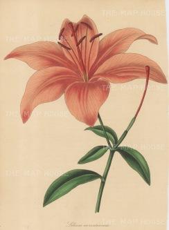 Tiger Lily: Lilium aurantiacum.