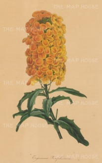 Golden Shot Wallflower: Erysimum Perofskianum.