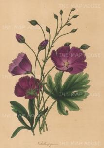 Poppy flower Nuttallia: Nuttallia papaver.