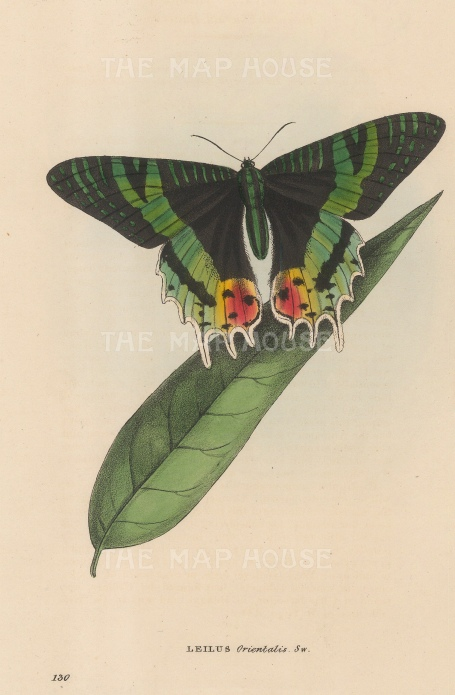 Oriental Emerald Butterfly: Leilus Orientalis from Bengal.